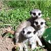 Adorable Baby Meerkats Help Soften Oakland's Grisly Image