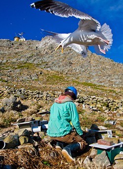 ANNIE SCHMIDT / POINT BLUE CONSERVATION SCIENCE - After 35 years of absorbing seagull-blows, Farallones researchers opted to don protective headwear.