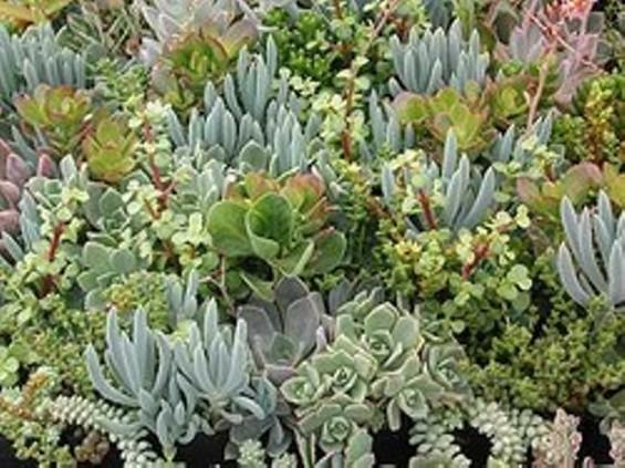Are succulents a gateway plant?
