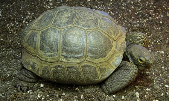 Arthur, the once and future tortoise, has returned - DOM MOSUR