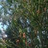 Autumn Crop of Orange Panhandle Penises Mysteriously Left Unpicked