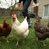 Backyard Chickens for Beginners