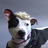 Bald-Headed Dog Tries to Lure Adopters With Toupee, Funny Hats (Update)