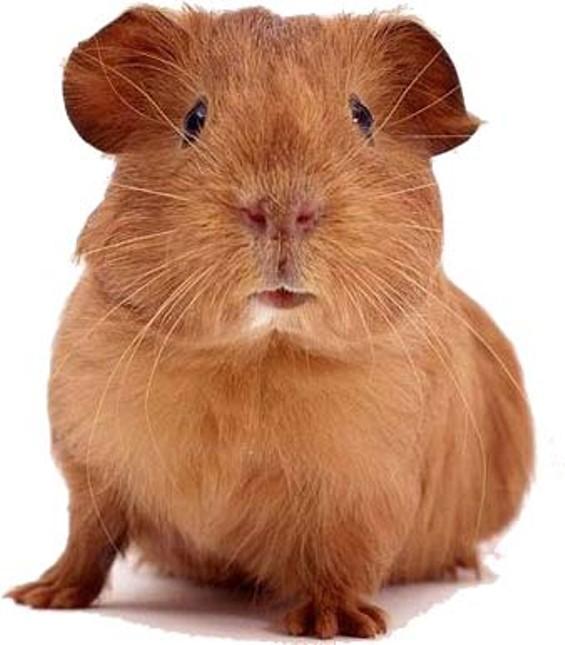 Ban this piggie?