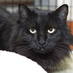 Shy Sophia has her own cat condo! - PHS/SPCA