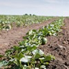 Contaminated Cantaloupes Killed 23 People. Why Not More?