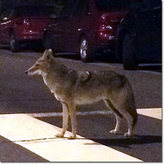 """<A HREF=""""HTTP://RICHMONDSFBLOG.COM/2014/04/23/SPOTTED-COYOTE-CROSSING-AT-37TH-AVENUE-GEARY/?UTM_SOURCE=FEEDBURNER&UTM_MEDIUM=EMAIL&UTM_CAMPAIGN=FEED%3A+RICHMONDSFBLOG+%28RICHMONDSFBLOG.COM%3A+SAN+FRANCISCO%27S+RICHMOND+DISTRICT%29"""" TARGET=""""_B"""