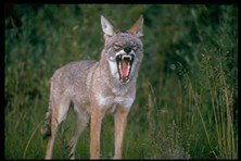 Coyotes, it seems, don't always do as they're told - EXZOOBERANCE.COM