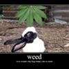 "DEA Official: Medical Marijuana Is Leading To ""Stoned Rabbits"""