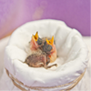 SPCA Seeking Motherly Types to Help Care for Baby Birds
