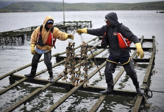 Drakes Bay Oyster Company workers hang racks of baby oysters from planks in the water. - JOSH EDELSON