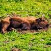 Local Buffalo Celebrates Hump Day With a Long Nap