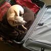 San Francisco Chihuahuas Go Bi-Coastal
