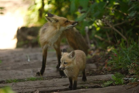 Foxes in Golden Gate park: You keep an eye on your kids and they'll do the same - JIM HERD