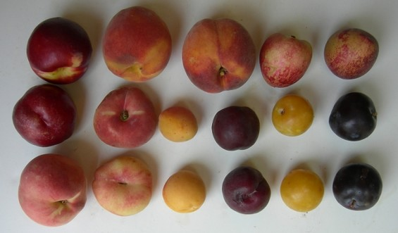 ... Ready to (C)rumble: Omnivore's Stone-Fruit Smackdown Happens Saturday