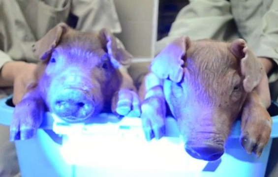 Glow-in-the-dark bacon: the next big thing?