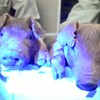 Scientists Create Creepy Glow-in-the-Dark Piglets