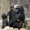 Gorillas Play With Boy's Dropped Nintendo at San Francisco Zoo