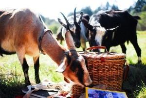 Goats at Milk Mama Goat Farm - EDMDUSTY/FLICKR