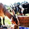 """Santa Cruz Collective to Stage a """"Milk-In"""" for Raw Milk Rights"""