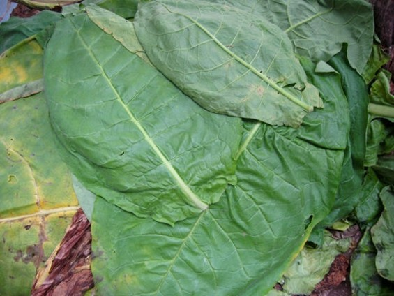 Heirloom Connecticut broadleaf tobacco leaves from Happy Quail Farms.