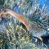 Clapper Rail Bird, Thought Extinct in San Francisco, Found Nesting in Hunters Point
