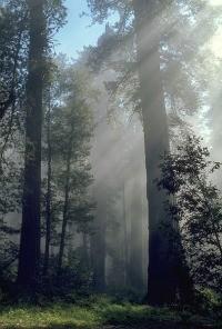 redwood3.jpg