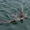 Sea Lions Found in S.F. with Wire Wrapped Around Their Necks