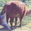 Animal Activists to State Fair: Don't Have a Cow
