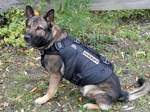 It's no coincidence that his bite is equally as big as his bark - COVER YOUR K-9