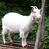'Goats R Us' Facing Animal Neglect Charges