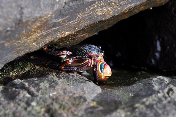 Learn to capture rock crabs in Urban Sea Foraging class. - FLICKR/HEP