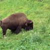 Bay to Breakers: Naked Man Arrested After Teasing Bison in Golden Gate Park (Update)