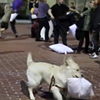 Local Dog Participates in Valentine's Day Pillow Fight (VIDEO)