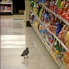 Local Pigeon Casually Peruses Potato Chip Aisle in S.F. Supermarket
