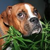 Marijuana Use Is on the Rise ... Among Dogs and Cats