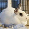 """Homeless Rabbits Flooding Peninsula Shelters, Bunny Overpopulation Is """"Critical"""""""