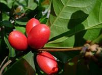 'Miracle Fruit' - JOE ESKENAZI