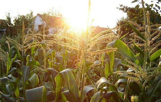 Nearly 90% of corn grown in the U.S. is genetically modified. - FLICKR/DODO-BIRD