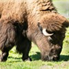 Oldest Bison Dies at Golden Gate Park