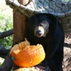 Local Bear Thankful for Your Leftover Pumpkins