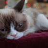 Grumpy Cat's Worst Christmas Ever is Actually Her Best One Ever