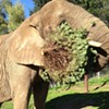 Local Elephant Devours an Entire Christmas Tree As If It's a Holiday Cookie
