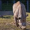 Boone, Football-Loving Rhino, Didn't Like the Taste of the Baltimore Ravens