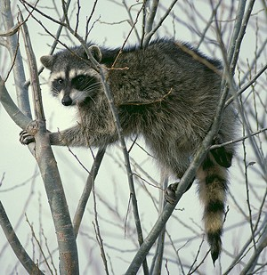 Not the actual raccoon but you get the idea
