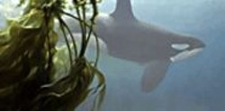 Orcas frolic in Robert Bateman's painting - Ocean Rhapsody.
