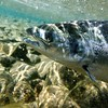 Pacific Salmon May Have Caught a Superbug