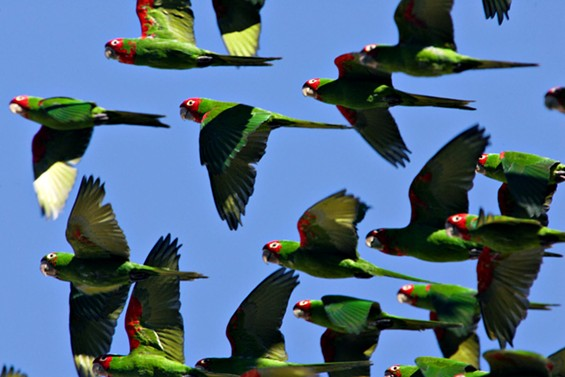 Parrots everywhere! - JIM HERD