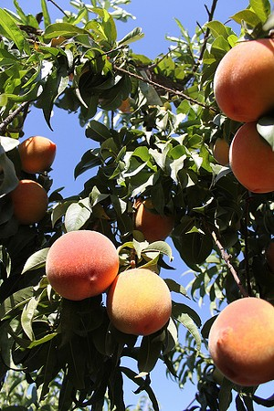 "Peach tree at Masumoto Family Farm, making ""take me home"" eyes at you. - BENKETARO/FLICKR"