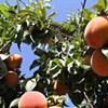 Waterbar Adopted a Peach Tree. So Can You